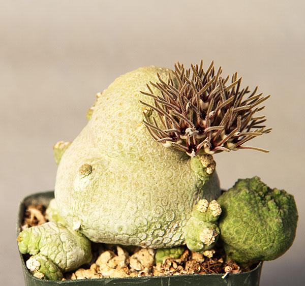 10 Fresh Seeds Pseudolithos Migiurtinus Cactus